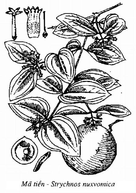 Hình vẽ Mã Tiền - Strychnos nuxvomica - Nguyên liệu làm thuốc Chữa Tê Thấp và Đau Nhức