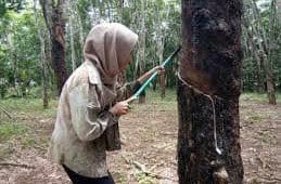 Harga Karet Sumsel Terus Meroket, Akibat Thailand Sedang La Nina