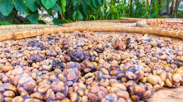 pawon luwak coffee magelang