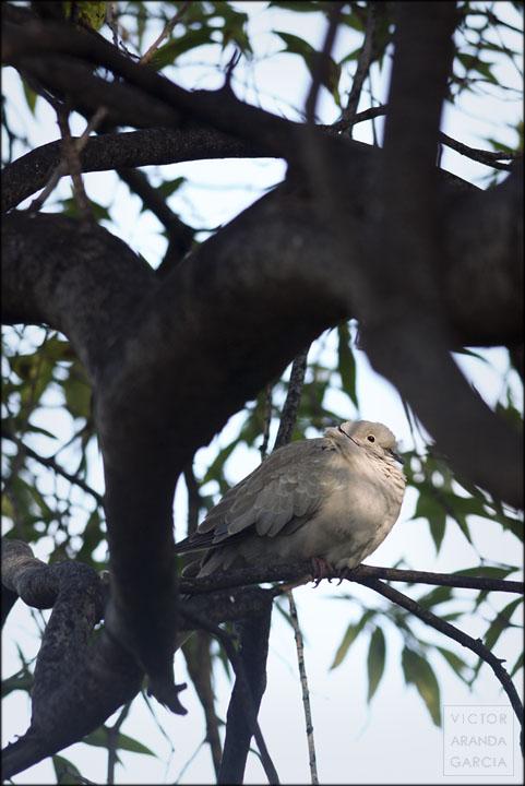 Fotografía de una tórtola posada en la rama de un árbole en Valencia al atardecer