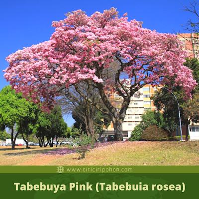 Tabebuya Pink (Tabebuia rosea)