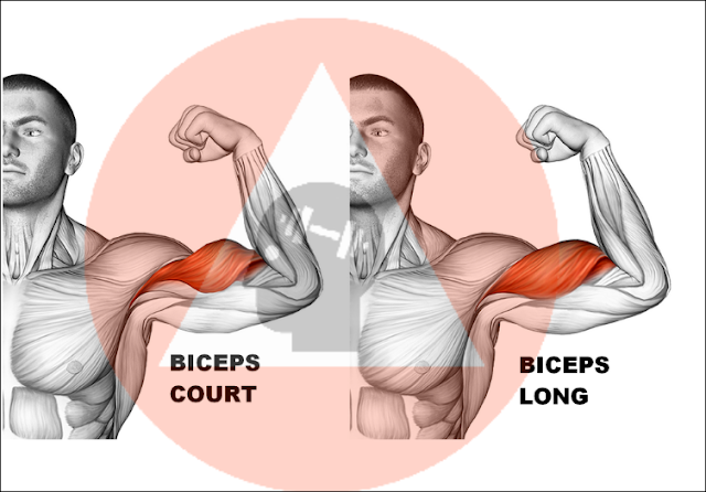 musculation fitness biceps court vs biceps long