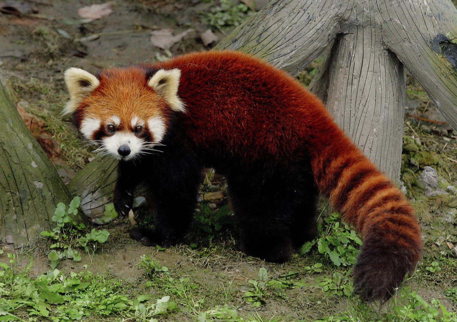 panda animals facts
