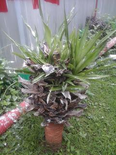 batang agave