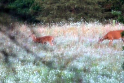 whitetail deer in Summer's field