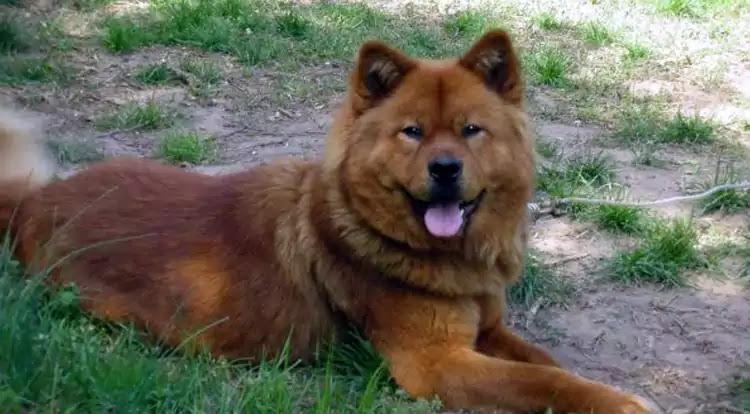 Akita Chow Dog Breed