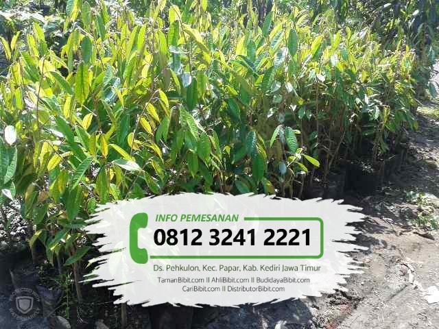 Jual Bibit Buah Durian Duri Hitam