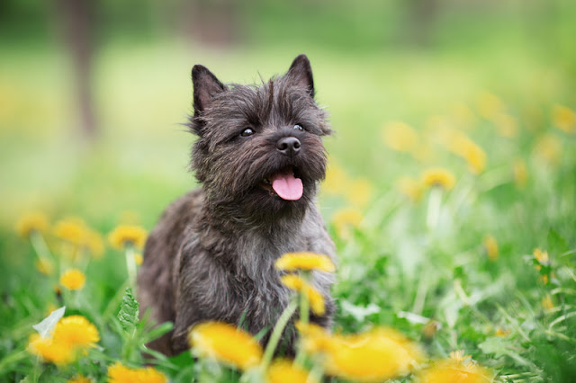 Which breeds are the best alternatives to the French Bulldog? The Cairn  Terrier, pictured, is one good choice.