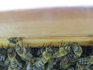 honey bees in the hive