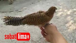 burung bubut,makanan burung bubut,melatih anakan bubut,bayi burung bubut,sarang burung bubut,merawat bayi burung bubut. merawat anakan burung bubut,burung bubut,burung bubut jawa,burung bubut alang alang,burung butbut,bubut pacar jambul,burung bubut jambul