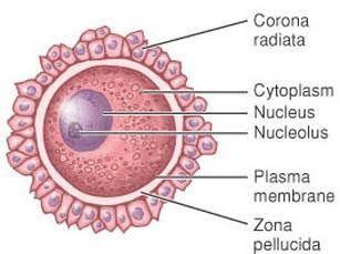 Struktur sel telur