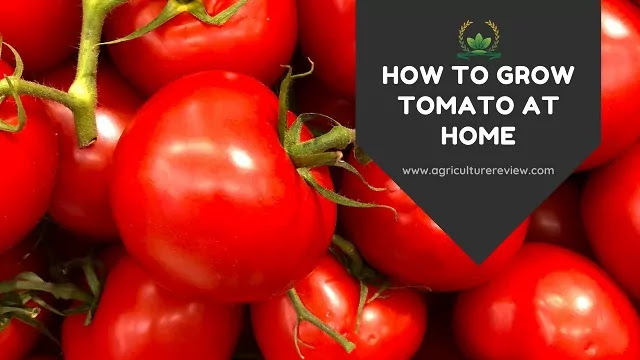 how to grow tomato at home by agriculture review