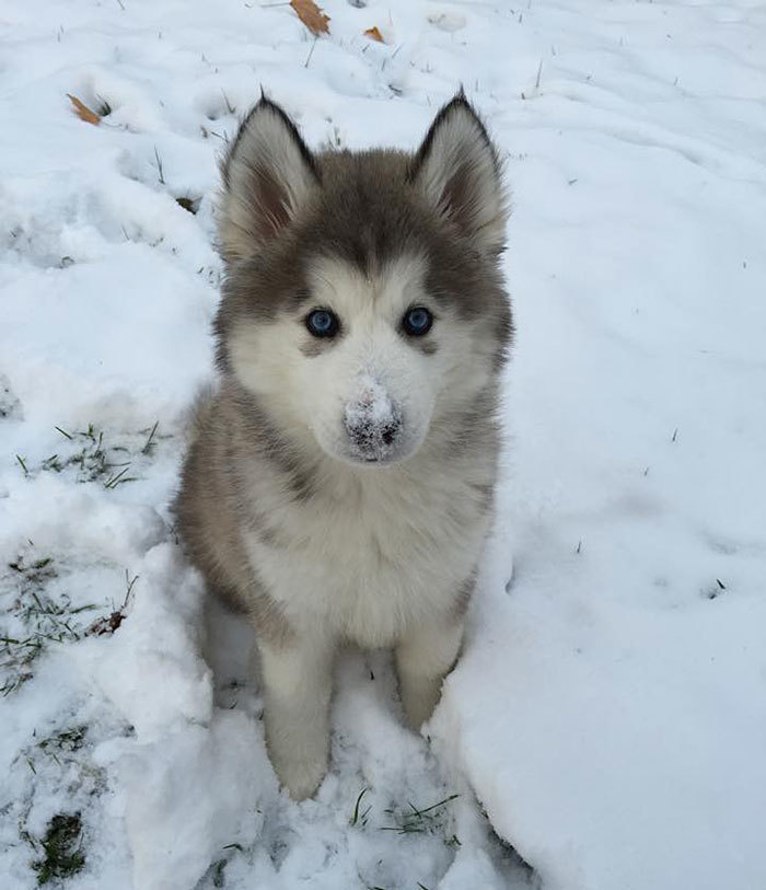 cute husky with his first time experienced with the snow