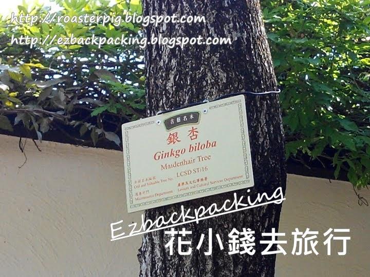 香港銀杏樹