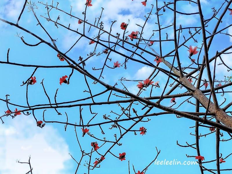 三峽臺北大學也有一整片的木棉花林耶每年3月是最佳賞花期喔
