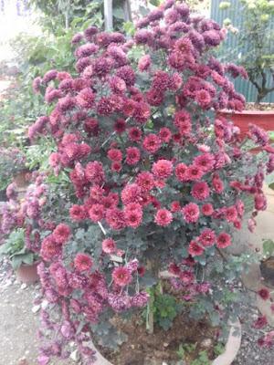 Hoa cúc cổ sơn la bông chùm rực rỡ nở lâu ngày