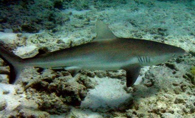 Tubarão de Galápagos | Características Gerais do Tubarão de Galápagos (Carcharhinus galapagensis)