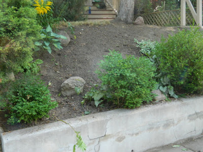 Toronto Summer Garden Cleanup in Koreatown After by Paul Jung Gardening Services--a Toronto Organic Gardener