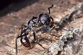 Semut Peluru, Hewan dengan Sengatan Paling Menyakitkan