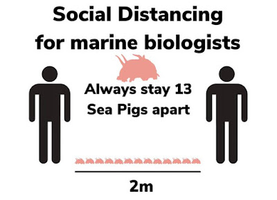 Social distancing for marine biologists: Always stay 13 sea pigs apart