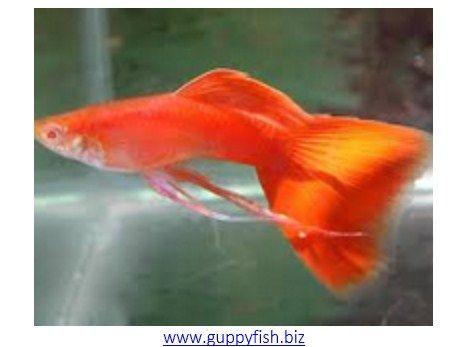 Jenis Ikan Guppy Terpopuler
