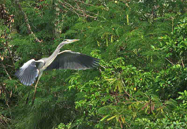 Grey Heron (Ardea cinerea) in flight, vegetation