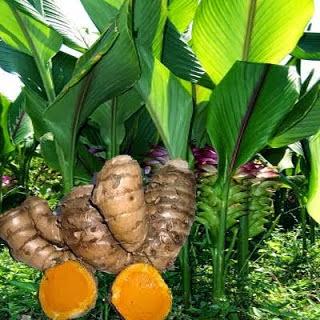 12 Manfaat Temulawak Bagi Kesehatan, Menambah Nafsu Makan Hingga Obat Kanker Alami