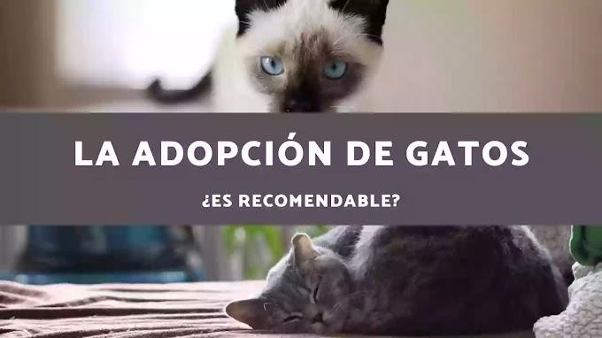 Adopción de Gatos ¿Es recomendable?