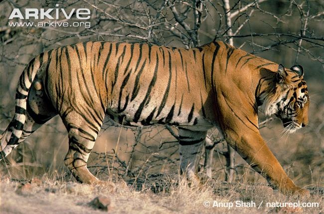 endangered asiatic predators Tigers