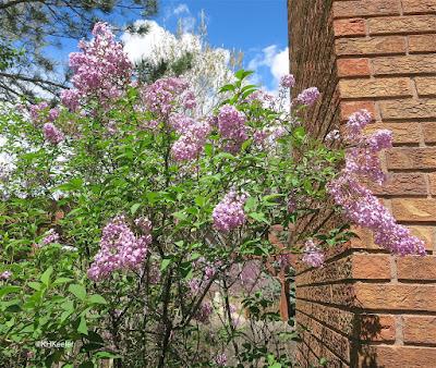 lilac, Syringa
