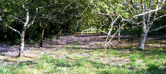 Cyclamens naturalised in an orchard. Indre et Loire. France. Photo by Loire Valley Time Travel.