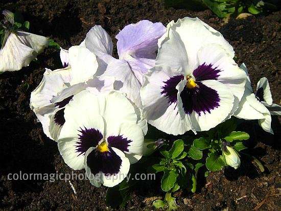 White pansies