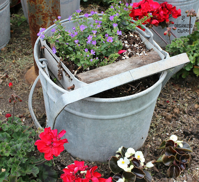 A Gathering of Mop Buckets in a Small Junk Garden #galvanizedplanter #galvanized #containergarden #junkgarden #annuals #redgeraniums
