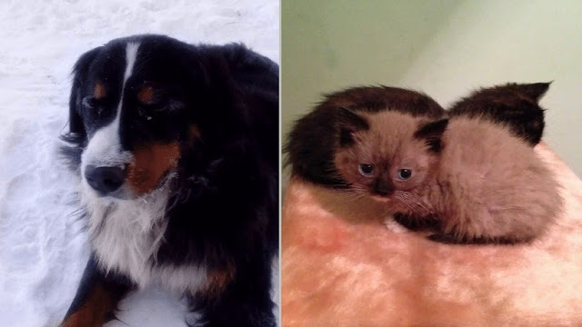 Пес, по имени Ватсон, спас заживо похороненных котят!
