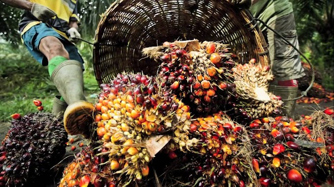 Nigeria Spends $500M Annually Importing Palm Oil, Local Production Is Not Enough Says Federal Government