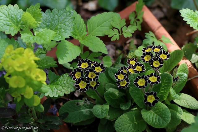 primevère noire jaune black laced