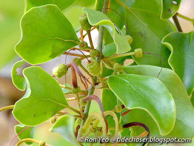 Mulberry Mistletoe (Taxillus chinensis)