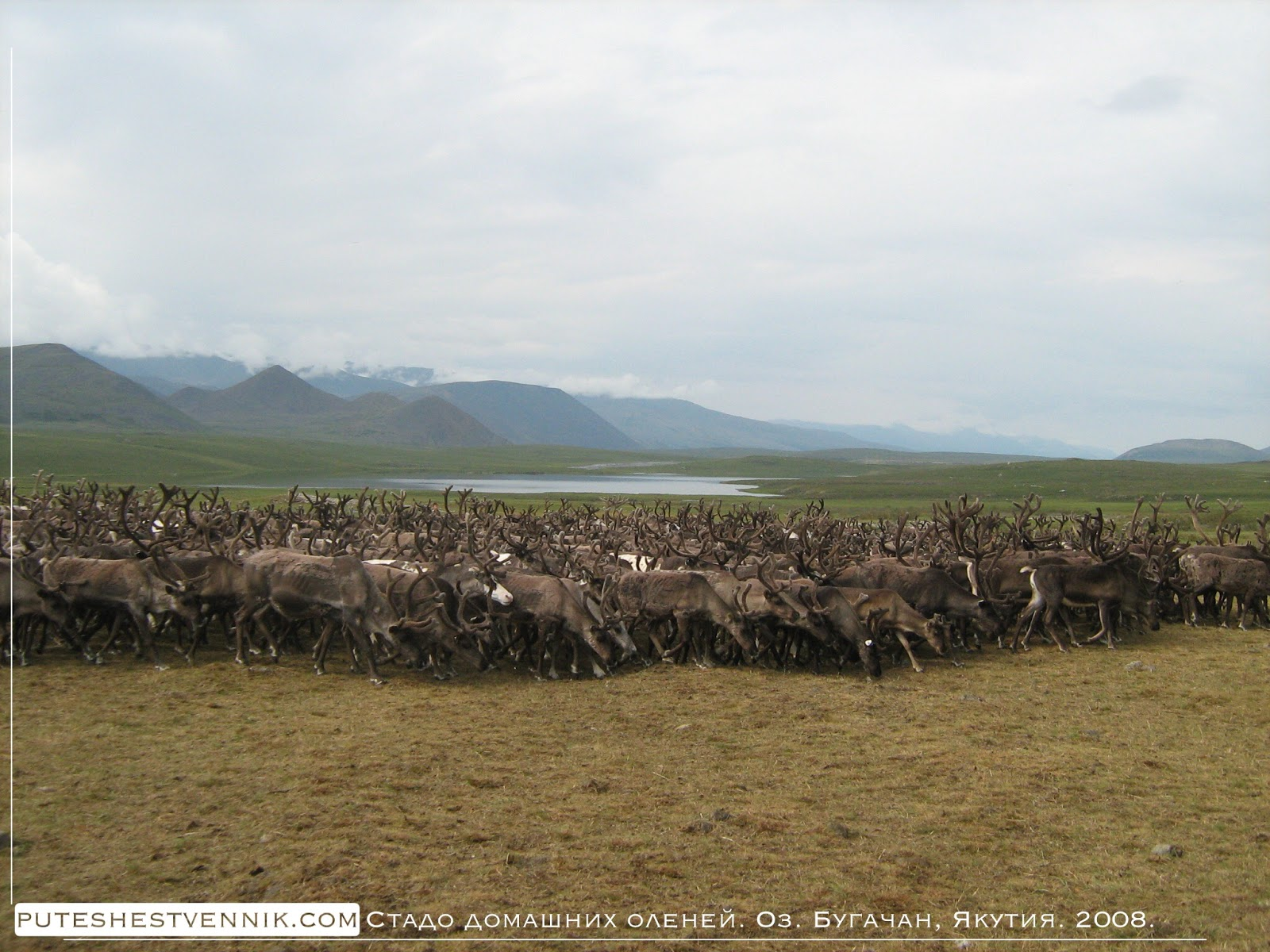 Стадо домашних оленей на озере Бугачан