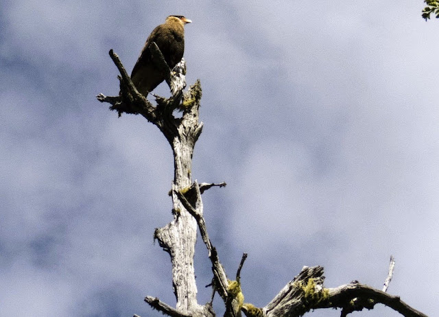 Birds of Patagonia: crested caracara in a tree near Bariloche