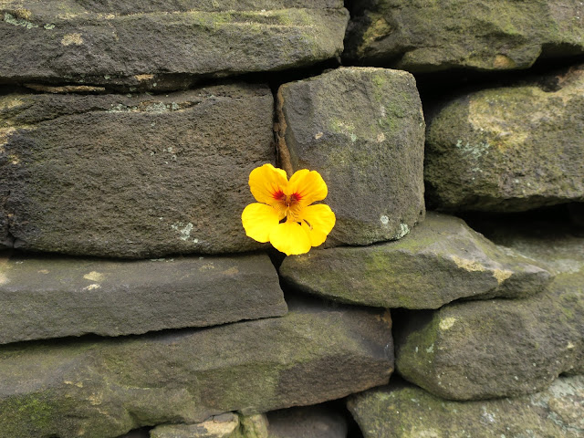Yellow nasturtium growing through black stone wall