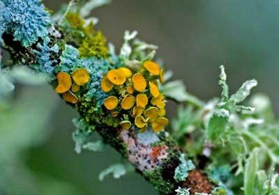 Lumut Kerak (Lichenes)