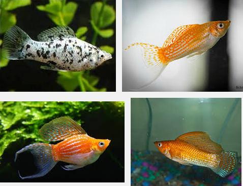 Cara Mudah dan Terbaru Budidaya Ikan Hias Molly yang Harus Di CobaCara Mudah dan Terbaru Budidaya Ikan Hias Molly yang Harus Di Coba