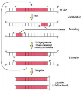 Explain the different steps carried out in Polymerase Chain Reaction, and the specific roles of the enzymes used