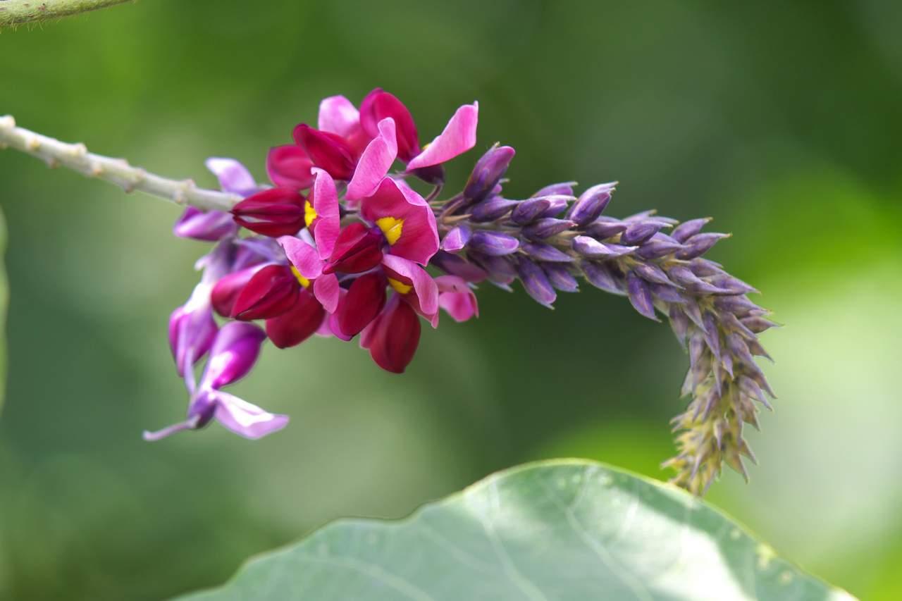 pueraria species