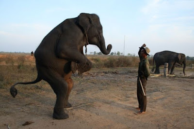 Elephant Training at Way Kambas Parkland