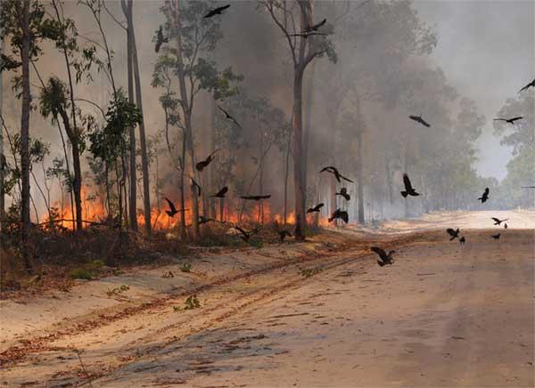 طائر الحِدَأة مسبب حرائق أستراليا