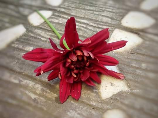 Koleksi Gambar Bunga 2