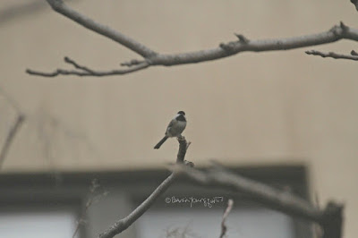 "This image features a chickadee perched on the branch of an Ailanthus tree in my courtyard. Wikipedia describes this bird as ""The black-capped chickadee (Poecile atricapillus) is a small, nonmigratory, North American songbird that lives in deciduous and mixed forests. It is a passerine bird in the tit family, the Paridae. It is the state bird of Massachusetts and Maine in the United States, and the provincial bird of New Brunswick in Canada. It is well known for its ability to lower its body temperature during cold winter nights, its good spatial memory to relocate the caches where it stores food, and its boldness near humans (sometimes feeding from the hand)."" I mention chickadees in my three volume book series ""Words In Our Beak.'"" Info re these books is in another blog post @ https://www.thelastleafgardener.com/2018/10/one-sheet-book-series-info.html"
