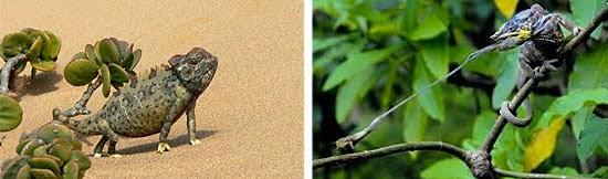Camaleão - Habitats