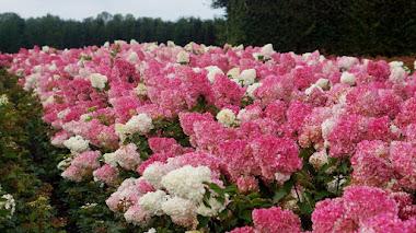 Hydrangea paniculata: algunos datos sobre el origen, cultivo y variedades
